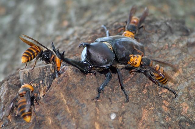 カブトムシとスズメバチたち